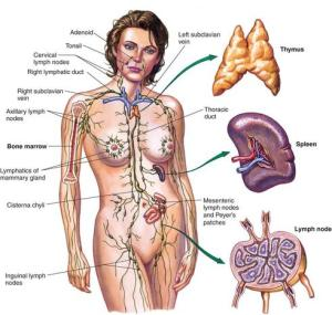 Lymphatic_System