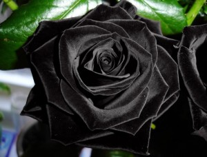 Black-Rose-Flower-photo